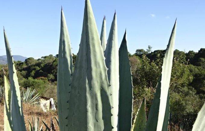 メキシコを旅するように生産地の特徴と味わいを楽しむメスカル「デルンベス」