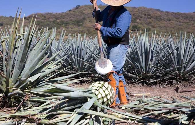 【メキシコテキーラツアーVol.3】プレミアムテキーラの代名詞「ドン・フリオ」