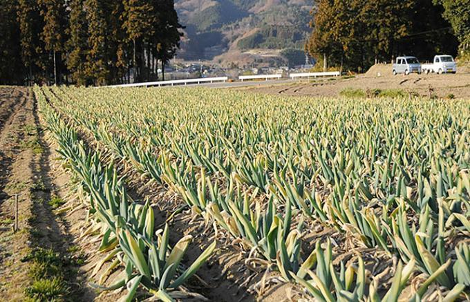 250年の歴史をもつ下仁田ネギは下仁田の気候と土壌が育てるネギ