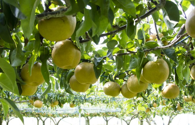 石川県で生まれたとっても大きな果物!糖度も高くて果汁もしたたる「加賀しずく」