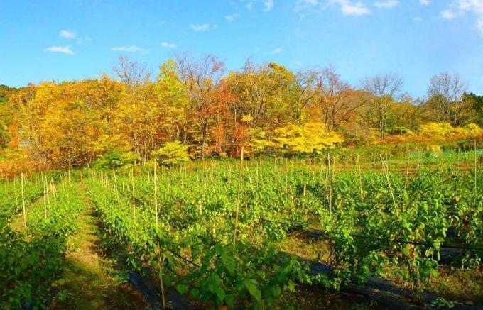 特徴は甘味とほのかな酸味!広大な土地で育てられた自然栽培の「食用ほおずき」