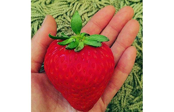 天皇陛下のお誕生日ケーキにも使われる、一粒1000円の大玉イチゴ。