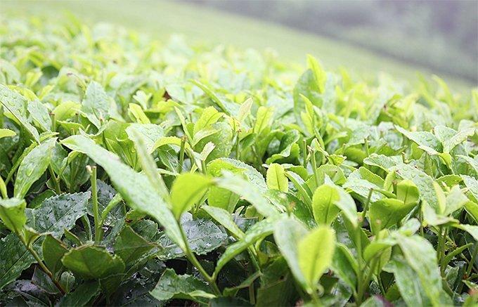 日本茶を10倍楽しむ今話題の水出し緑茶!その人気の理由と美味しい緑茶はこれ!