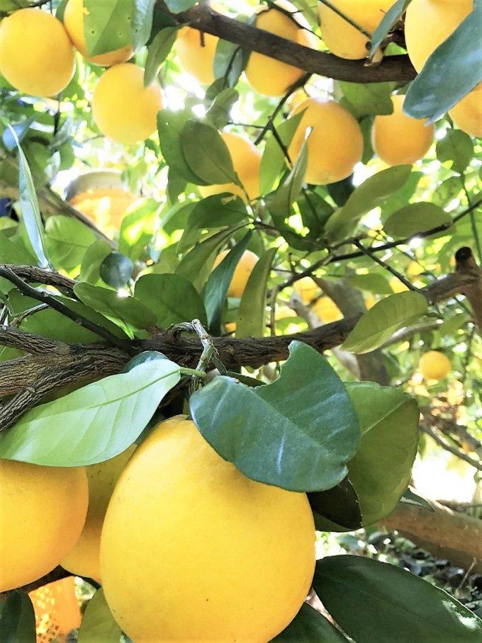 イエローカラーにウキウキの春!今すぐ食べたくなるフルーツ「美生柑」