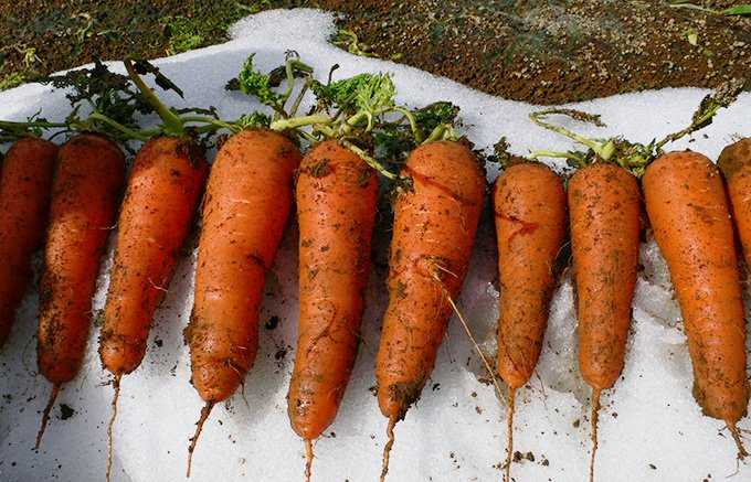 越冬するから美味しい!新潟の豪雪地帯から届いた雪を割り掘り起こした人参ジュース