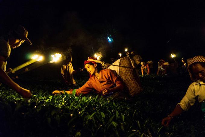 108年に1度の神秘的な夜摘み! 歴史に残る紅茶