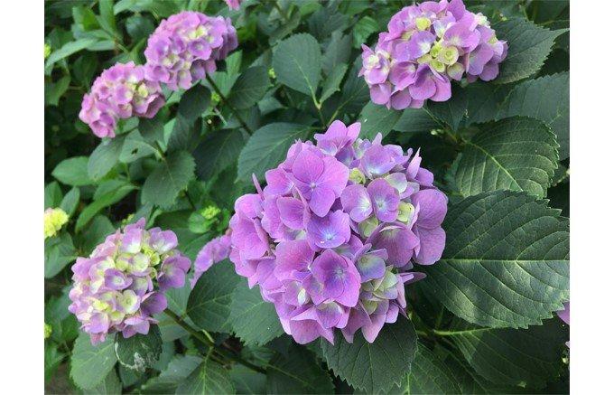 """紫陽花に彩られた葉山で見つけた心躍る""""花マカロン"""""""