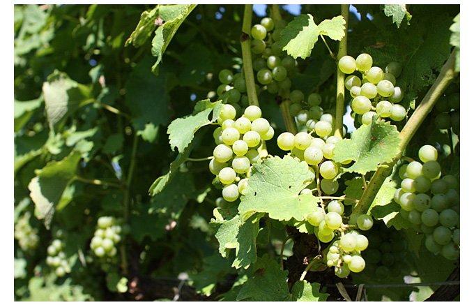 天然酵母で発酵させる自然派ワイン!北海道三笠市「タキザワワイナリー」