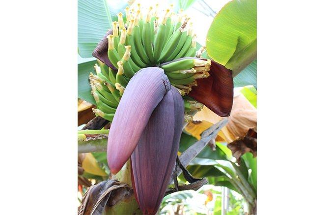 地元の国産バナナを応援!小さなお菓子屋さんの挑戦