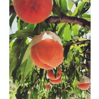 今が旬!夏の贈り物にもおすすめ!パティシエが認めた山梨県産の『宝桃園』の「もも」