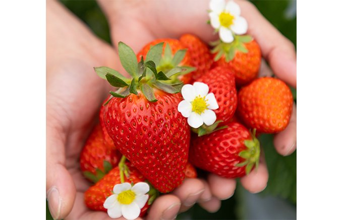 京都で苺と桜!大粒ストロベリーパイ「ハイアット リージェンシー 京都」