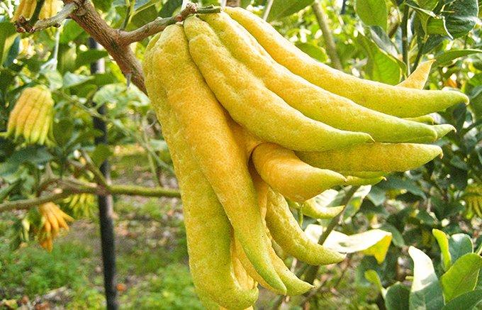 心から癒される佐賀県唐津産の仏手柑の香り