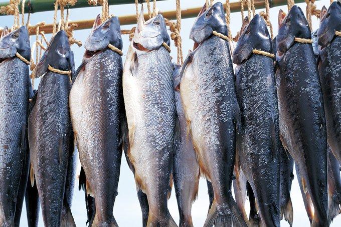日本海からの寒風にさらされて旨味を熟成させる「新潟たけうち」の鮭・鱒