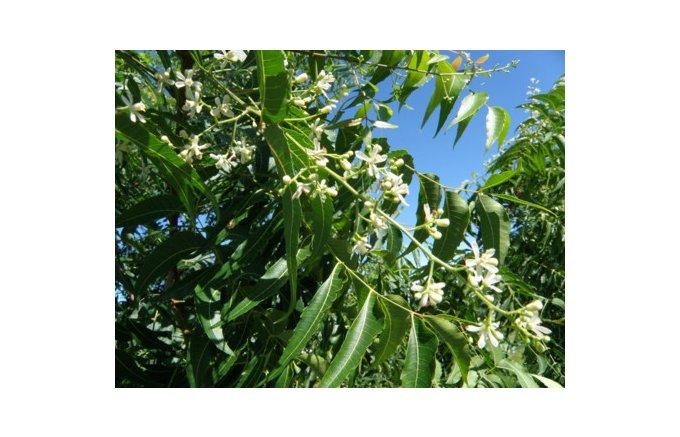 ニームから採れたはちみつ「純粋ニームハニー」は樹木とミツバチの最高傑作