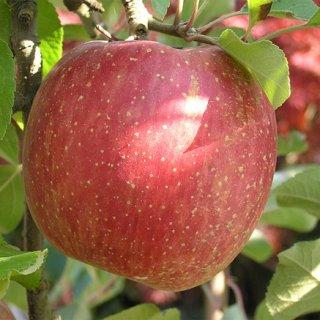 りんご愛がすごい!宮城県亘理町高野さんの「ナノりんご」