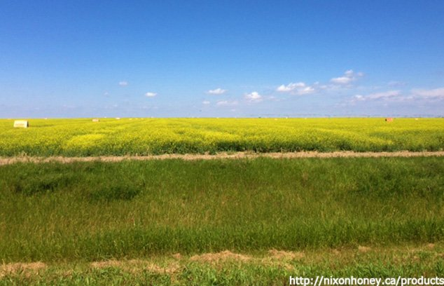 カナダ西部アルバータ州の広大なカノーラ畑から採れるクリーミーなはちみつ