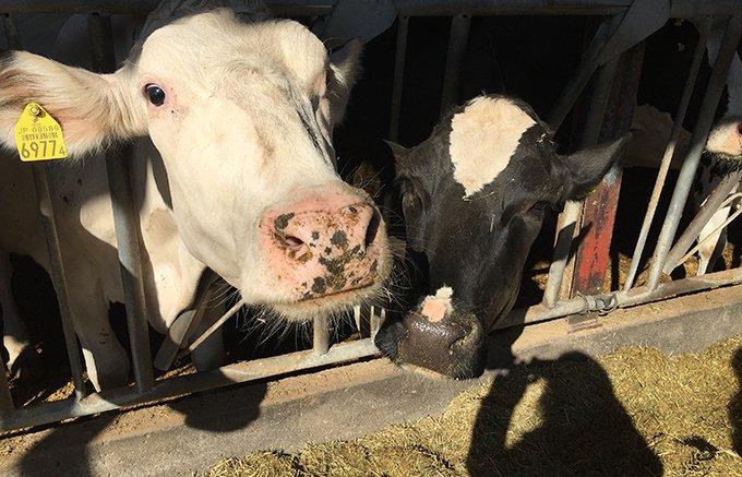 群馬にある松井牧場発!搾りたてミルクで作るミルクプリン