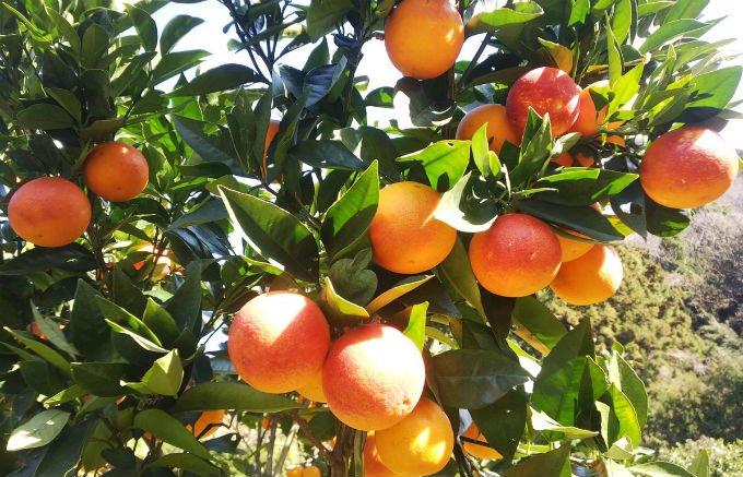 愛媛県から届く、国産の「ブラッドオレンジ」