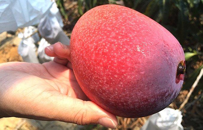 宮古島の生態系が生きている完熟有機マンゴー