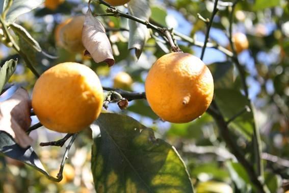 レモンの酸味が効いてさわやか!「生塩レモンマヨネーズ」を食べてみて!
