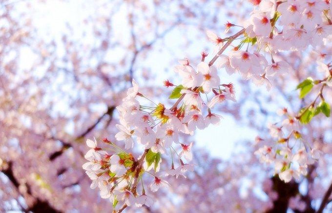 春の訪れに香る「桜くずの杏仁豆腐」