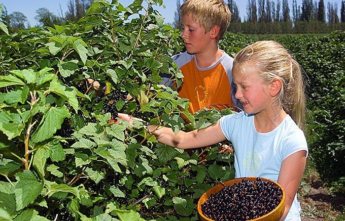 カシス大国ニュージーランド!大自然が育む良質なフルーツ