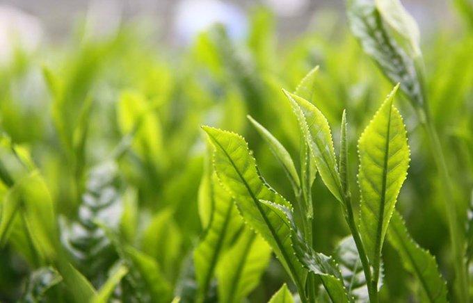 ANAファーストクラス採用の実力!日本一に輝く宮崎「新緑園」のお茶