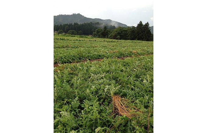 新潟県・南魚沼の八海山の麓の八色原で育つ「八色スイカ」