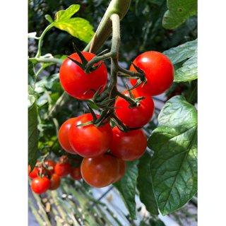 ここでしか手に入らない珍しいトマトを収穫!『井出トマト農園』