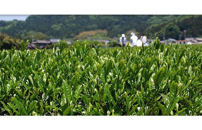雪国で育ったまろやかな味わいが絶妙!白い雪の茶畑で栽培された北限の茶「村上茶」