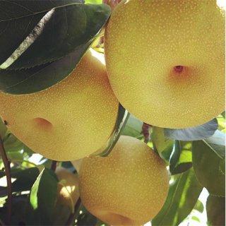 夏のジューシーフルーツ「千葉県特産・岬梨」はただいま最盛期!