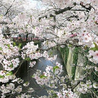 お花見に手土産に!この季節にしか味わえない限定 桜スイーツはいかが?