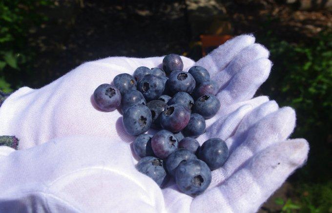 香り、甘み、酸味に大満足!信州の大自然が育てた青の宝石「ブルーベリー」