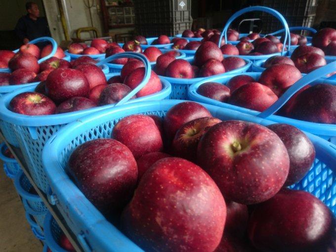 長野県飯綱町の冷涼な地で30種類ものりんごを作る「山下フルーツ農園」
