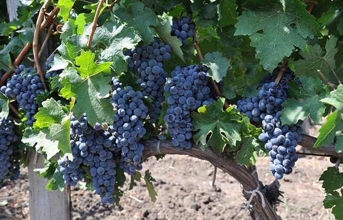 あのウィンストン・チャーチルも愛した!ブルガリア珠玉のワイン
