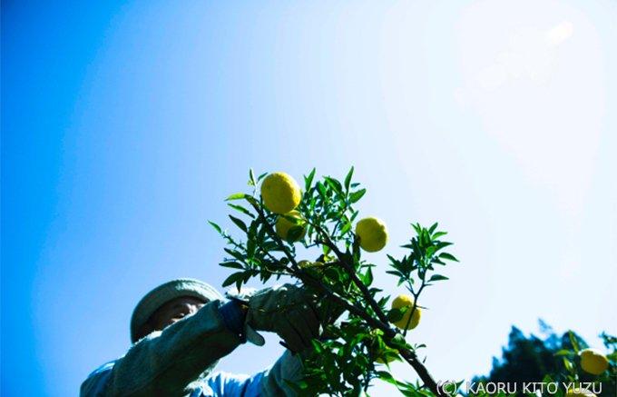 まさにビタミンCの宝箱!木頭柚子果汁を非加熱で新鮮なまま抽出した「一番しぼり」