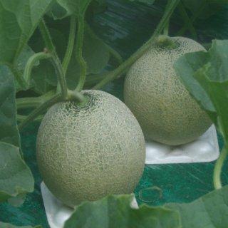 日本を代表するメロン農家の一人、坂本正男氏が作る絶品メロンとは?