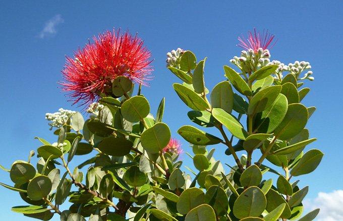 ハワイの潮の香りが漂う濃厚はちみつ「オヒア・レファ・ブロッサム」