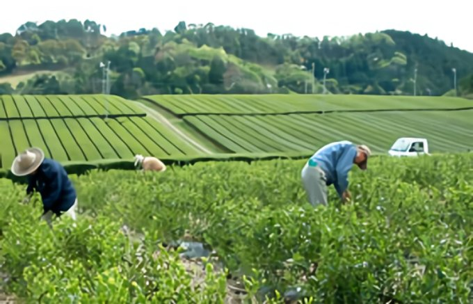 優良なお茶が採れる高知県発の紅茶「霧山の香り召しませ茶 和紅茶」