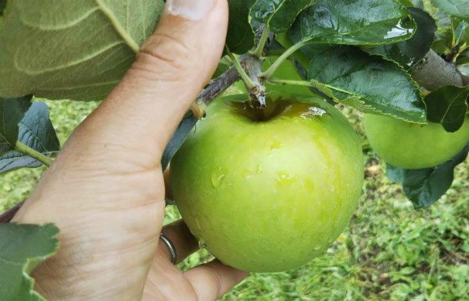何十種類ものりんごを栽培する、パティシエにとって夢のような農園『サンファーム』