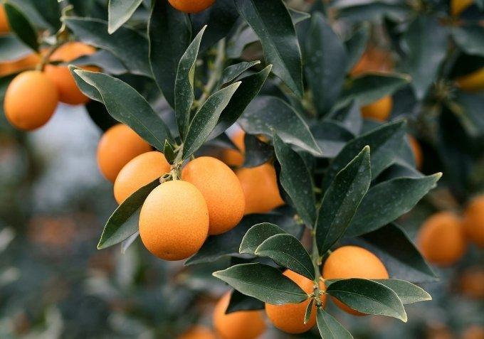 まるでオレンジの宝石!この季節に嬉しい栄養満点の宮崎県産完熟きんかん「たまたま」