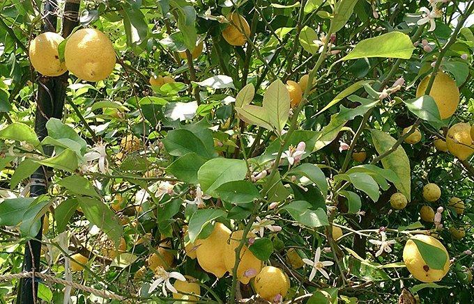 まだ知らんのん?広島土産の新定番!今注目の「広島レモン」じゃけえ!
